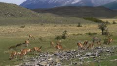Herd of Guanaco grazing on short grass