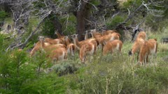 Herd of Guanaco in tall grass and trees