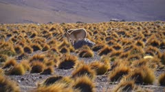 Vicuna pair grazing in Tatio Geyser field