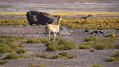 Vicuna walking in Tatio Geyser field