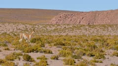Young Vicuna walks across frame