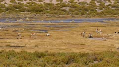 Herd of Vicunas grazing near a small lake