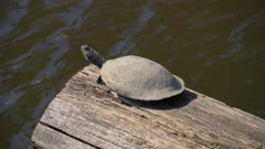 River turtle sunning on a log