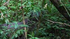 Tapir feeding in the jungle