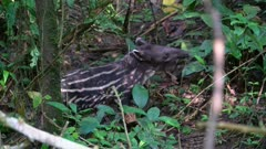 Baby Tapirfeeding  in the jungle