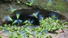 Cobalt-winged Parakeets flock to clay mineral lick
