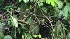 Cobalt-winged Parakeets flock in trees