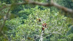 Red Howler monkeys in the canopy