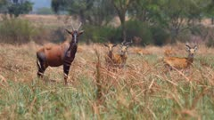 Hartebeest and Kob