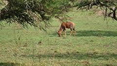 Hartebeest Grazing