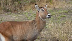 Female Waterbuck