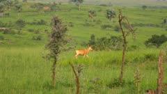 Hartebeest running
