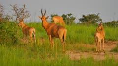 Hartebeest Standing