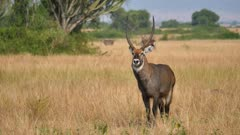 Male Waterbuck