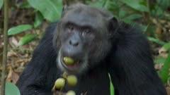 Chimp eating fruit
