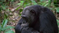 Chimp makes faces