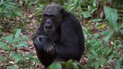 Chimp sitting on the ground