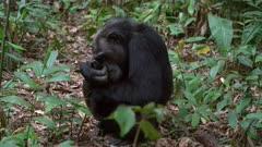 Chimp picks his nose