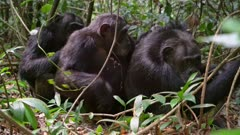Three Chimps grooming