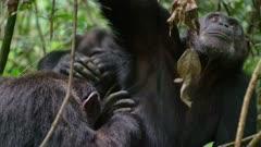 Three Chimps grooming