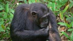 Chimp self grooming