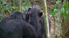 Two Chimps grooming