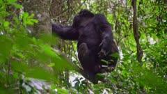 Chimp climbs a tree