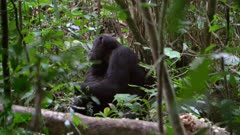 Chimp sitting on the ground