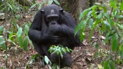 Chimp self grooming