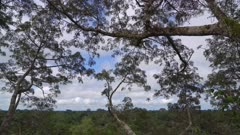 Pan down from sky to rainforest canopy top