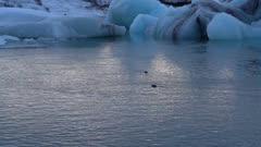 Seals swimming in Berg filled lagoon at dusk