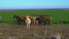 Stout Icelandic horses near the seashore