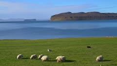 Sheep grazing on green grass near a fjord