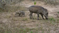 Warthog mother with two piglets