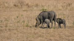 Warthog mother grazes while two piglets nurse
