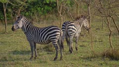 Two Zebras standing on short grass