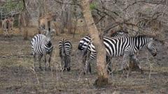 Zebra herd with Eland Antelope in background