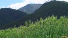 Green wheat field in Yunan Mountains