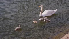 Mother Swan feeds her cygnets