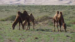 Camels with gobi desert dunes in background