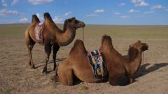 Bactrian Camels on the open Steppes