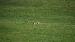 Saiga Antelope on green grassy Mongolian Steppes