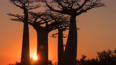 Time Lapse of sun setting behing Baobab Trees