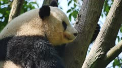 Giant Panda resting in a tree