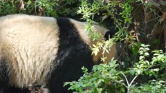 Giant Panda on the ground in dense foliage