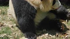 Two Giant Pandas interact on the ground