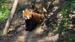Red Panda pair on the ground looking for food