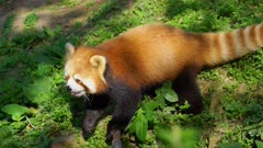 Red Panda on the ground looking for food