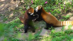 Red Panda pair on the ground interacting