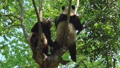 Giant Panda pair interact in a tree